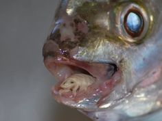 Cymothoa exigua, or the tongue-eating louse. This parasite enters fish through the gills, and then attaches itself to the fish's tongue, which it destroys by extracting blood through the claws on its front, and then attaches itself to the stub. The fish is able to use the parasite just like a normal tongue. It appears that the parasite does not cause any other damage to the host fish.