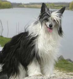 Chinese Crested Powder Puff  Looks just like my very first Marla