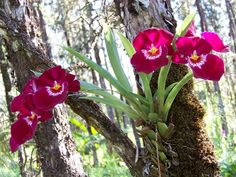 I love growing orchids on trees in the Hawaiian rainforest where we live. These purple beauties are called Miltonia orchids. This orchid plant is over 10 years old. You can see how the new pseudobulbs grow right over the old ones. These flower blooms will last for several weeks. #orchids