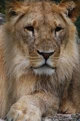 Resultado de imagen para ligers and tigons difference