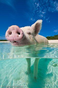 Swimming pigs Pig Island Bahamas, Bahamas Pigs, Exuma Bahamas, Animals And Pets, Baby Animals, Funny Animals, Cute Animals, Sea Pig, Pig Beach