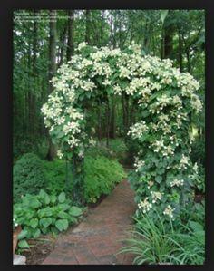 Climbing hydrangea arbor for the shade garden. Climbing hydrangea arbor for the shade garden. Climbing Hydrangea, Climbing Vines, Hydrangea Shade, Hydrangeas, Climbing Flowers, Climbing Shade Plants, Hydrangea Garden, Rock Climbing, Moon Garden