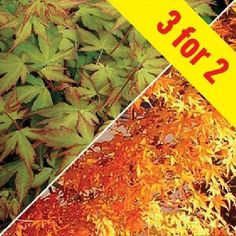 Acer Palmatum Katsura (Japanese Maple) 3 Plants Striking yellow leaves, turning to orange and greenRHS AGM Award Fantastic Saving - Buy 2 Get 1 Free This Acer has light yellow star shaped leaves that turn orange as they develop in the spring, then  http://www.MightGet.com/january-2017-11/acer-palmatum-katsura-japanese-maple-3-plants.asp