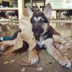 Here's another Gunner update! @DogVacay's office puppy is having a total blast with a brown bag. Follow @DogVacay for weekly updates! #shepsky #germanshepherd #puppy #instadaily #cute #dog #F4F #cute #dogs