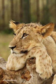 lioness is repose...