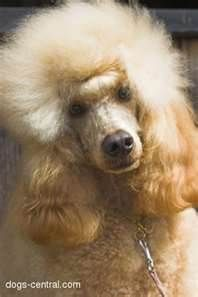poodle puppies ... Dog training portal... not just for #poodles http://dogtrainingvideos...