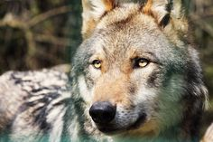 Wolf von Mecking