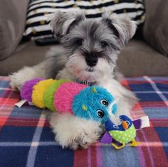 "87 Likes, 5 Comments - (wonder)Wally  (@wonderwallythedog) on Instagram: ""A few of my pa(w)ls tagged me in the #myfavoritetoy challenge  @marmiteschnauzer @the_rollin_dog…"""