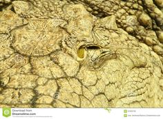 Closeup Of An Alligator Eye Stock Photo - Image of danger, biology: 61052752