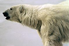 "Polar Bear Profile by Robert Bateman.  ""The pale, uniform colour of the polar bear allows me to concentrate on the form in this landscape without the confusing variable of pattern and colour. I want one to be able to feel the fur in ones imagination. I certainly would not want to try it in real life."""