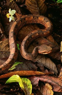 Hog-nosed rainforest pit viper (Porthidium nasutum) on the forest floor in the Tenorio Volcano National Park Reptiles And Amphibians, Mammals, Spiders And Snakes, Colorful Snakes, Pit Viper, Snake Art, Snake Venom, Beautiful Snakes, Animals Of The World