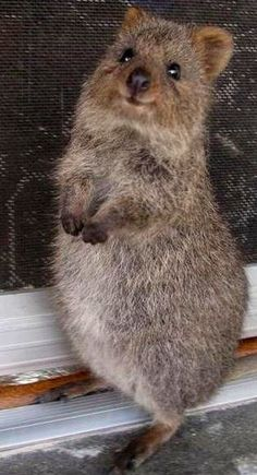 Quokka, an Australian marsupial, often referred to as the happiest animal in the… Happy Animals, Animals And Pets, Funny Animals, Cute Animals, Wild Animals, Animal Puns, Puppy Pictures, Animal Pictures, Aussie Dogs
