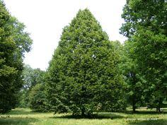 Tilia 'Redmond' - Redmond Linden Tree Photo Gallery