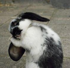 Quoi de plus joli qu'un lapin se lavant les oreilles!