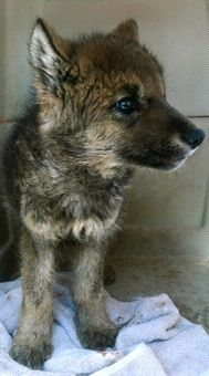 Campers find pup! Wolf Pup