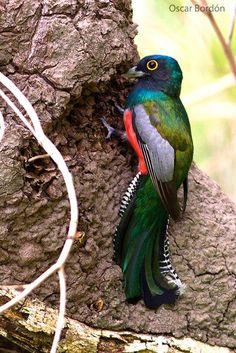 El Surucuá aurora (Trogon curucui), de la familia de los Quetzales, es una de las aves más hermosas que tenemos en Paraguay. Lo interesante de esta fotografía es el momento en que fue realizada, el ave está escarbando en un nido de termitas, puede ser para alimentarse o como algunos estudiosos dicen preparando un nido. En San Bernardino