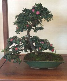 Cotoneaster bonsai from the Ann Arbor Bonsai Society Show 2013 in Michigan. 5 year old. Bonsai Fruit Tree, Bonsai Art, Bonsai Garden, Fruit Trees, Cotoneaster Bonsai, Desert Rose, Ikebana, Art Forms, Flower Art