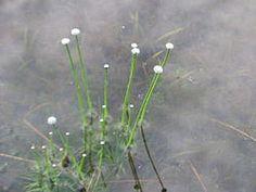 Eriocaulon aquaticum.