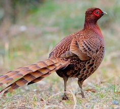 Copper Pheasant - endemic to the hill and mountain forests of Honshū, Kyūshū and Shikoku islands of Japan