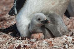 Chinstrap penguin chick on Half Moon Island, Antarctica - from Everything Everywhere blog