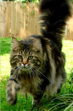 Maine Coon Cat Angel.   Loved & not forgotten.  Brody  <3
