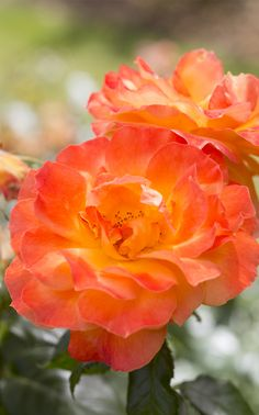 ~Scented roses: 'Fellowship', a floribunda rose, has a musky scent, and flowering repeatedly through the summer. Photo by Paul Debois.