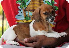 Prattville, AL - Chihuahua/Dachshund Mix. Meet Liza 22879, a puppy for adoption. http://www.adoptapet.com/pet/13407628-prattville-alabama-chihuahua-mix