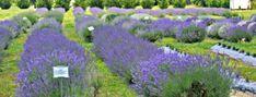 5. Lavender Fields