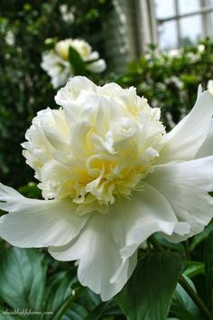 White Double Peony Bloom | Peonies; A Love Affair | aheahtlylifeforme.com