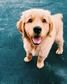 Stunning hand crafted golden retriever accessories and jewelery available at Paws Passion Shop! Represent your golden retriever pup with our merchandise! Cute Baby Animals, Animals And Pets, I Love Dogs, Cute Dogs, Adorable Puppies, Silly Dogs, Awesome Dogs, Fun Dog, Chien Golden Retriever