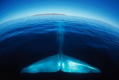 blue whale (photograph by amos nachoum)