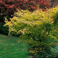 This Japanese maple is a tree for all seasons! More excellent Japanese maples: http://www.bhg.com/gardening/trees-shrubs-vines/trees/japanese-maples/?socsrc=bhgpin061513benikawa=3