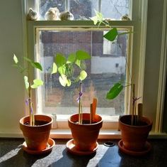bean plant race - plant bean seeds in pots, name your bean plants, and watch your plants grow.