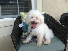 Piddle is an adoptable Poodle Dog in Windermere, FL. Piddle is an 8 year old male Min Poodle that weighs 14 pounds. He is a friendly, lovable, boy that is good with other dogs, cats and kids. He likes...