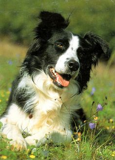 The Border Collie: The dog everyone wants, and almost no one should have.  Frighteningly intelligent, they must work, body and mind, and constantly - or they are most unhappy and become highly stressed.