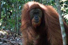 Wilde Tiere sind für aussergewöhnliche Naturfotos besonders beliebte Motive. Für tolle Fotos stellen diese aber auch eine besondere Herausforderung dar. Orang Utan im Sonnenlicht. Infos und Tipps zur Wildlife-Fotografie gibt's hier: http://www.fotos-fuers-leben.ch/fotokurs/naturfotografie/wildlife-fotografie/ #wildlife_fotografie #naturfotos