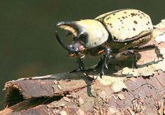 Hercules Rhinoceros Beetle