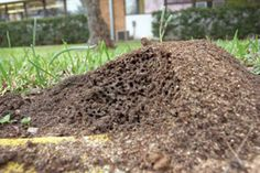 Controlling Fire Ants  Step 1: Once or twice a year, broadcast a fire ant bait product that contains spinosad. Foraging ants will carry the spinosad granules back to their nest, and the granules will kill the colony within a few days to a few weeks.  Step 2: If you spot new fire ant activity in your garden  treat individual mounds with either more of the spinosad granules, the Medina Orange Oil/soap solution, Orange Guard, or very hot water.