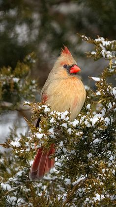 billwphotos.com I think the female cardinal is just as beautiful as her mate.