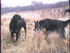 rottweiler vs pastore tedesco