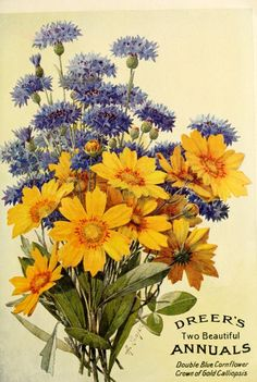 Dreer's 'Two Beautiful Annuals' - Double Blue Cornflower, Crown of Gold Calliopsis. Illustration by Alois Lunzer (b.1840). Dreer's 1913 Garden Book. | Tumblr