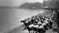 In the 1920s and 30s, sheep were used in London parks to keep the grass down. Hyde Park, Kensington Gardens, Clapham Common and Hampstead Heath all had sheep grazing on them, and there was much competition between shepherds to get their flocks chosen for the privilege. There was considerable profit to be made too - for when they were good and fat, the sheep were herded to Smithfield Meat Market to be prepared for the table.