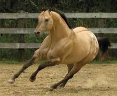 Buckskin Appaloosa stallion
