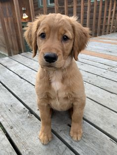 My 11 week girl Sophie strikes a pose for the camera! Golden Retriever Mix, Retriever Puppy, Golden Retrievers, Animals And Pets, Cute Animals, Golden Mix, Beautiful Dogs, Beautiful Gorgeous, Dog Training Videos
