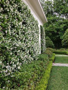 star jasmine, LOVE the smell, I miss this a lot when I had my little garden in Solana Beach #gardenvineshouse #LittleGardenDesign