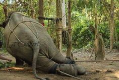 This crush training-is what all circus,treking,or commercial elephants go through- Still want to buy circus tickets?