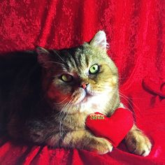 The Lion Cut For Cats-Cat grooming services by professional cat groomer Grooming Salon, Cat Grooming, We Are The Ones, Family Traditions, Happy Valentines Day, Lion, Pets, Animals, Leo