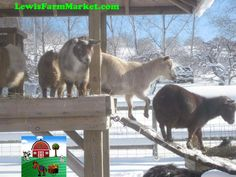 Goats-Winter by Petting & Farm Market, via Flickr