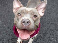 TO BE DESTROYED - MONDAY - 4/14/14 4/12/14 URGENT - Manhattan Center    LILY POTTER - A0995845  FEMALE, GRAY / WHITE, PIT BULL, 2 yrs  STRAY - ABANDON  04/05/2014 A volunteer writes: Lily has one look - SMILING!!! Friendly, sweet, tail waggy and fun! Likely housetrained. She takes treats very gently. Affectionate and cuddly,Compact and adorably friendly, Lily Potter is looking for a new family to love.  $200 DOLLARS TO ANY NEW HOPE APPROVED GROUP WHO PULLS ANY DOG FROM TONIGHT'S AT RISK…