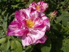 Apteekkarin ruusut kirjot